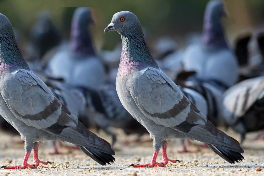 Daños y enfermedades que producen las aves urbanas